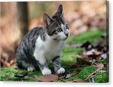 Young Manx Cat Canvas Print by James L. Amos