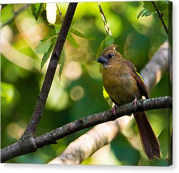 Fledgling Northern Cardinal 1 Canvas Print by Christy Cox
