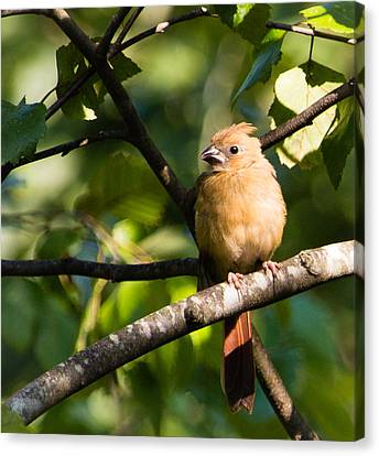 Fledgling Northern Cardinal 2 Canvas Print by Christy Cox