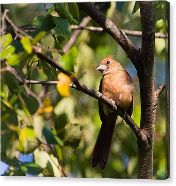 Fledgling Northern Cardinal 3 Canvas Print by Christy Cox