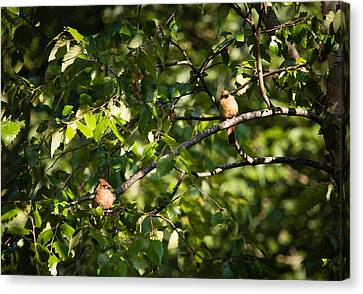 Fledgling Northern Cardinal Siblings Canvas Print by Christy Cox