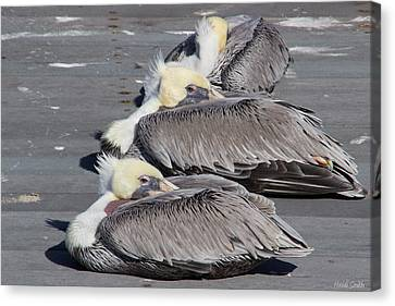 Young Pelicans Canvas Print by Heidi Smith