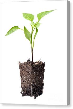 Young Plant Canvas Print
