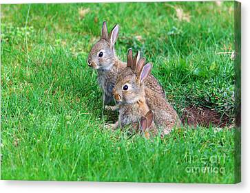Canvas Print featuring the photograph Young Rabbits by Nick  Biemans