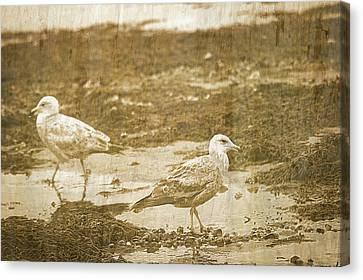 Young Seagulls On Harwich Cape Cod Beach Canvas Print by Suzanne Powers