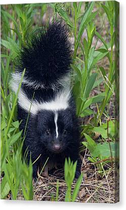 Young Striped Skunk Canvas Print by Ken Archer