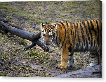 Young Tiger Canvas Print by Thomas Woolworth