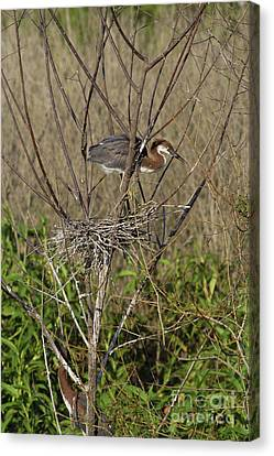 Young Tricolored Heron In Nest Canvas Print
