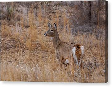 Fountain Creek Nature Center Canvas Print - Young Whitetail Deer by Ernie Echols