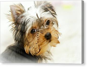 Yourkshire Terrier Puppy Looking  Loveable Canvas Print by Jan Tyler