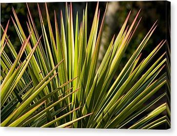 Yucca 1 Canvas Print by Frank Tozier