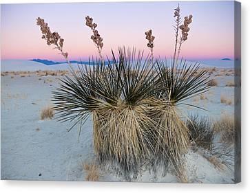 Yucca Dawn Canvas Print by Roger Clifford