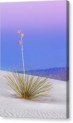Canvas Print featuring the photograph Yucca Pink And Blue by Kristal Kraft