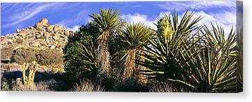 Yucca Plants Blooming In A Desert, Culp Canvas Print by Panoramic Images