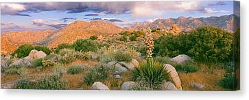Yucca Spanish Bayonet Plants Blooming Canvas Print by Panoramic Images