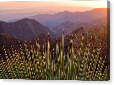 Yucca Spikes Canvas Print by Adam Pender