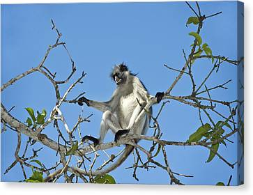 Zanzibar Red Colobus Monkey In A Tree Canvas Print