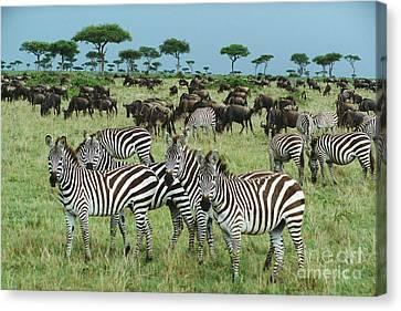 Zebra And Wildebeest Grazing Masai Mara Canvas Print by Yva Momatiuk and John Eastcott