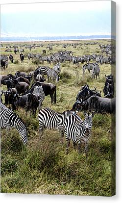Zebra And Wildebeest Canvas Print by Marc Levine