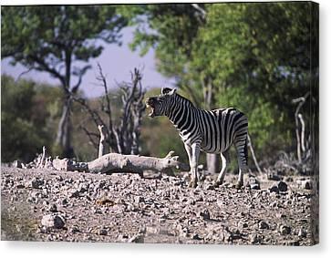 Zebra Braying Canvas Print by Stefan Carpenter