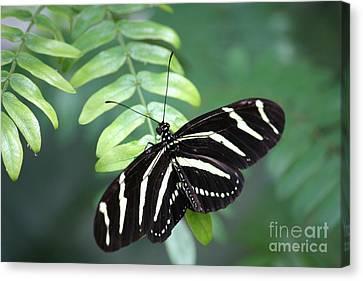 Zebra Butterfly Canvas Print by Carol Groenen