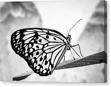 Zebra Butterfly Canvas Print by Cathy Donohoue