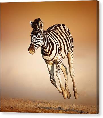 Zebra Calf Running Canvas Print by Johan Swanepoel
