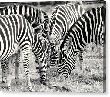 Zebra Dinner Time   Canvas Print