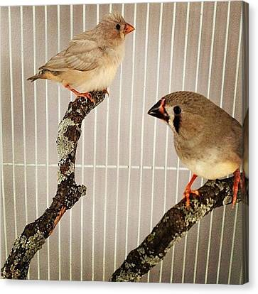 Zebra Finches Canvas Print by Christy Beckwith