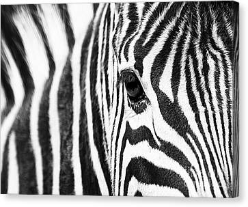 Zebra Gaze Canvas Print