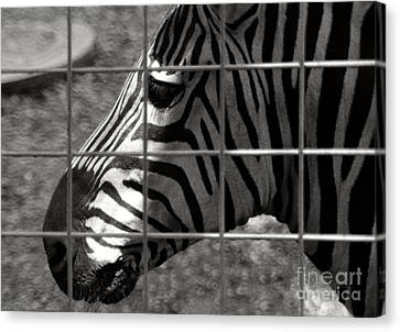 Canvas Print featuring the photograph Zebra Grid by Tom Brickhouse