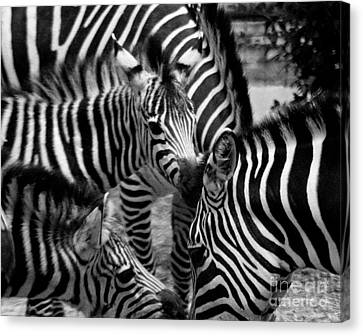 Canvas Print featuring the photograph Zebra In A Crowd by Tom Brickhouse