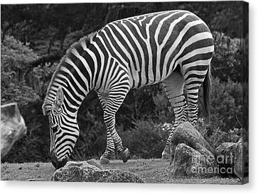 Canvas Print featuring the photograph Zebra In Black And White by Kate Brown