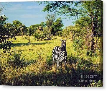 Zebra In Grass On African Savanna. Canvas Print by Michal Bednarek