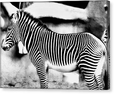 Canvas Print featuring the photograph Zebra by Kristine Merc