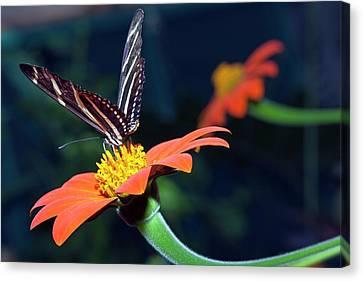Zebra Longwing Butterfly II Canvas Print by Dirk Wiersma