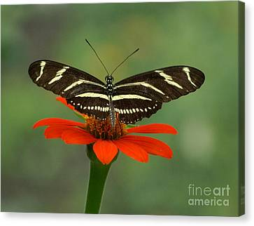 Zebra Longwing Butterfly Canvas Print by Liz Masoner