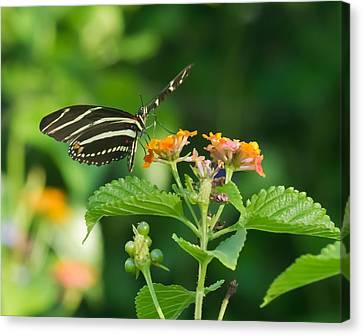 Canvas Print featuring the photograph Zebra Longwing by Jane Luxton