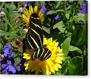 Zebra Longwing On Yellow With Purple Flowers - 103 Canvas Print