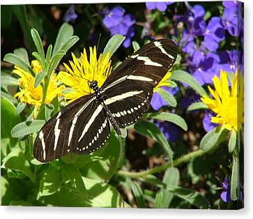Zebra Longwing On Yellow With Purple Flowers - 104 Canvas Print