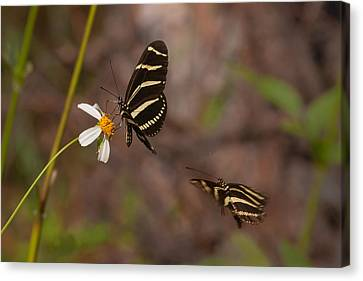 Zebra Longwings Canvas Print by Paul Rebmann