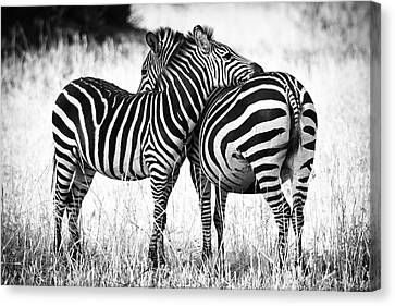 Black And White Canvas Print - Zebra Love by Adam Romanowicz
