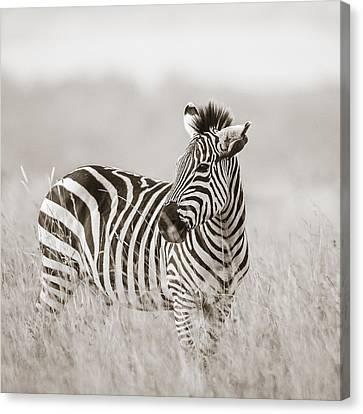 Zebra Masai Mara Kenya Canvas Print