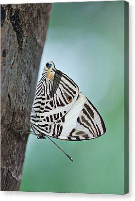 Canvas Print featuring the photograph Zebra Mosiac Butterfly by Zoe Ferrie