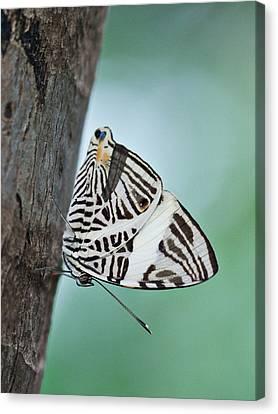 Zebra Mosiac Butterfly Canvas Print by Zoe Ferrie
