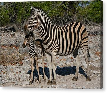 Zebra Mother And Baby Canvas Print