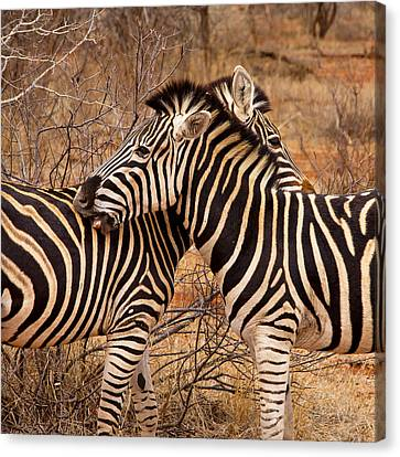 Canvas Print featuring the photograph Zebra Pair by Phil Stone