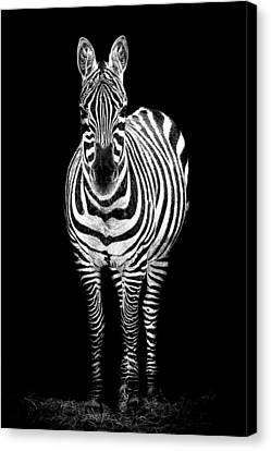 Zebra Canvas Print by Paul Neville