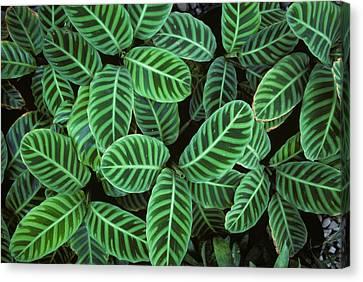 Zebra Plant Leaves Manila Philippines Canvas Print by Nigel Cattlin