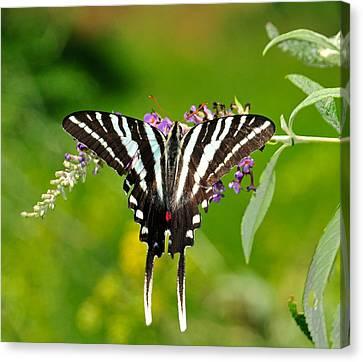 Zebra Swallowtail Butterfly Canvas Print by Lara Ellis
